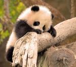 little-zhen-zhen-is-a-very-determined-little-panda-climber
