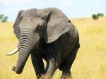 single-tusk-african-elephant